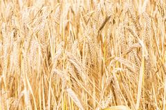 Golden ears of wheat in summer on the field. Wheat Background. Agriculture royalty free stock photos