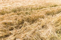 Golden ears of wheat in summer on the field. Wheat Background royalty free stock image