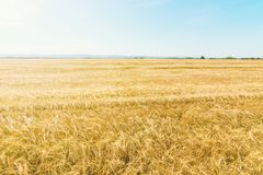Golden ears of wheat in summer on the field. Wheat Background royalty free stock photo