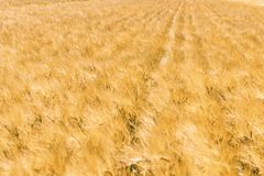 Golden ears of wheat in summer on the field. Wheat Background royalty free stock photography