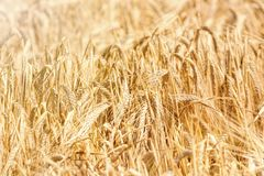 Golden ears of wheat in summer on the field. Wheat Background stock image