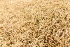 Golden ears of wheat in summer on the field. Wheat Background stock images