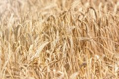 Golden ears of wheat in summer on the field. Wheat Background. Agriculture Stock Images