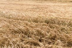 Golden ears of wheat in summer on the field. Wheat Background. Agriculture Stock Photography