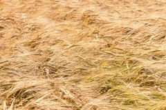 Golden ears of wheat in summer on the field. Wheat Background. Agriculture Stock Photo