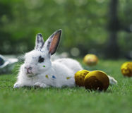 Golden Easter Bunny. A painted Easter bunny with golden eggs in the green garden Royalty Free Stock Images
