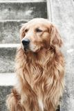 Golden Efect. Beautiful Golden Retriever male with photoshop efect Stock Images