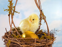 Golden egg and easter chick. One golden egg and baby chick in a nest Stock Image
