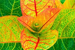 Golden eldorado plant with red texture leaves. Beautiful golden eldorado plant in the garden stock image