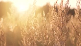 Golden evening on the meadow. In slow motion stock footage