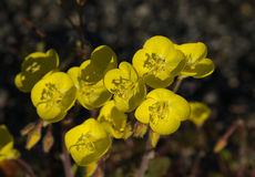 Golden Evening Primrose Stock Photo
