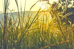 Golden evening on the summer meadow Stock Image
