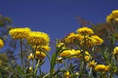 Golden Everlasting flower in spring Stock Photo