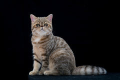 Golden exotic shortair pedigree cat in studio Stock Photography