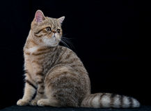 Golden exotic shortair pedigree cat in studio Royalty Free Stock Images