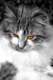 Golden Eye. Cat in black and white with red/gold eyes Royalty Free Stock Photo