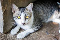 Golden eye cat. Gold eyes of stray cat sit behind stone Stock Photography