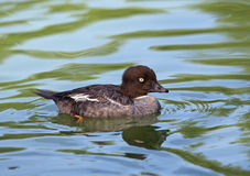 Golden Eye Duck swimming. In pond Royalty Free Stock Photography