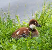 Golden Eye Duckling Royalty Free Stock Photo