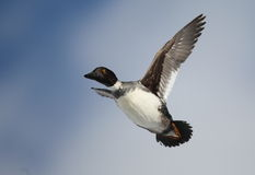 Golden eye hen in flight. A female goldeneye in flight on a winter day Royalty Free Stock Photography