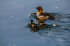 Golden eye, Inglewood Bird Sanctuary, Calgary, Alberta, Canada. Female golden eye and chicks take a leisurely swim through the water Royalty Free Stock Image