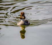Golden eye, Inglewood Bird Sanctuary, Calgary, Alberta, Canada. Female Goldeneye swimming through the water while casting a shadow Royalty Free Stock Photos