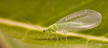 Golden Eye Lacewing. A Golden Eye Lacewing (Mallada traviatus) sitting on a leaf Royalty Free Stock Images