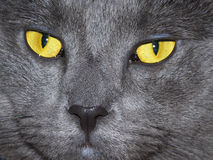 Golden Eyed Cat. Gorgeous Russian Blue cat with golden eyes Stock Image