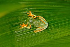 Golden-eyed leaf frog, Cruziohyla calcarifer, green yellow frog sitting on the leaves in the nature habitat in Corcovado, Costa Ri stock image