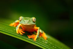 Golden-eyed leaf frog, Cruziohyla calcarifer, green yellow frog sitting on the leaves in the nature habitat in Corcovado, Costa. Rica. Amphibian from tropic royalty free stock image