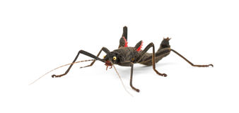 Golden-eyed Stick Insect, Peruphasma schultei Royalty Free Stock Photo