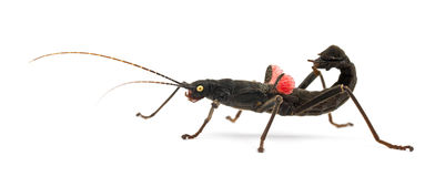 Golden-eyed Stick Insect, Peruphasma schultei Stock Image