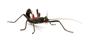 Golden-eyed Stick Insect, Peruphasma schultei Stock Photography