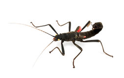 Golden-eyed Stick Insect, Peruphasma schultei Royalty Free Stock Images