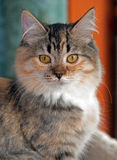 Golden-Eyed Torbie with White Kitten Stock Photos