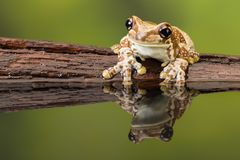 Golden-eyed tree frog or Amazon milk frog Stock Photos