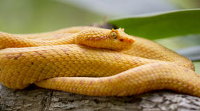 Golden Eyelash Viper Stock Images