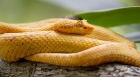 Golden Eyelash Viper. On the branch stock images