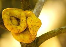 Golden eyelash viper snake Royalty Free Stock Photo