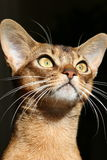 Golden Eyes Abyssinian Cat Stock Photos