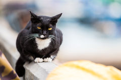 Golden eyes black cat Royalty Free Stock Image