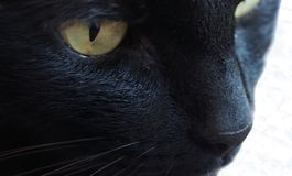 Golden eyes and white whiskers royalty free stock photos