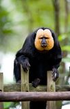 Golden-face saki monkey Royalty Free Stock Image