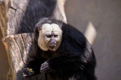 Golden-face saki monkey. Pithecia pithecia, known as Golden-face saki monkey Stock Images