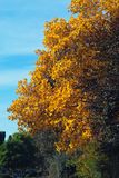 Golden fall. Yellow autumn trees Stock Photo