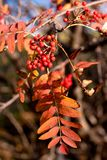 Golden fall ashberry Royalty Free Stock Images