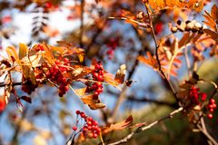 Golden fall ashberry Stock Images