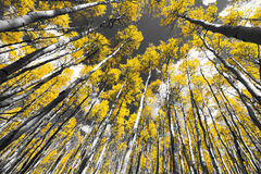 Golden Fall Aspen Tree Forest in Colorado Mountains. Golden leaves of a fall aspen tree forest in black and white landscape scene in the Colorado Rocky Mountains Stock Image