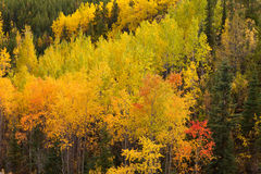 Golden fall aspen trees Yukon boreal forest taiga Stock Photography