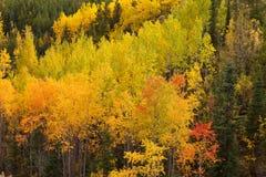 Golden fall aspen trees Yukon boreal forest taiga Stock Photography